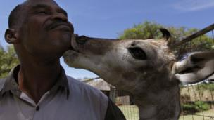 Ranger Bernard Maphalala gets a lick from a six-day-old giraffe named baby X at a game park near Johannesburg (8 November 2013)