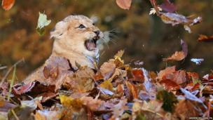 Karis, an 11-week -old lion cub, plays in fallen leaves