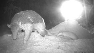 giant armadillo and baby