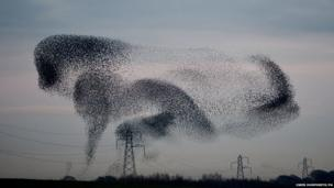 A murmuration of starlings above the the small village of Rigg, near Gretna, in the Scottish Borders