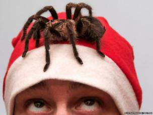 Yegor Konkin, 24, dressed as Santa Claus, watches a venomous Phormictopus antillensis spider on his head