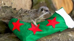 A meerkat lying on a Christmas stocking