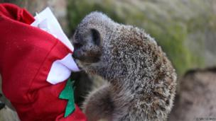 A meerkat peering into a Christmas stocking