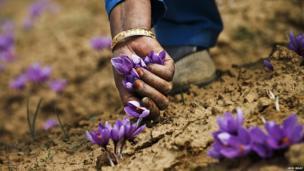 Kashmiri Muslim villagers pick saffron flowers from a field in Pampore