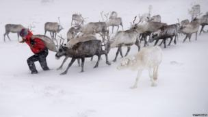 Eve Grayson, a reindeer herder of the Cairngorm Reindeer Herd, feeds the deer on December 23, 2013 in Aviemore, Scotland