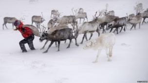 A reindeer herder of the Cairngorm Reindeer Herd, feeds the deer in Aviemore, Scotland.