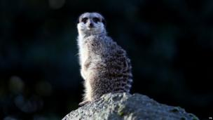 Meerkat at London Zoo stock take
