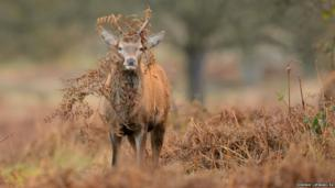 A red deer forages for food in Richmond Park, south-west London