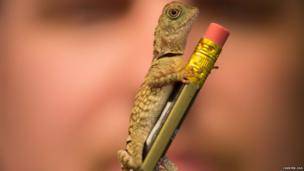 Bell's anglehead lizard on a pencil