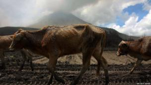 Cows covered in ash
