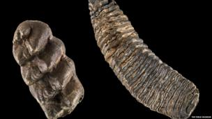 Mastodons were shorter and stockier than mammoths, with thicker bones and differently shaped tusks. In North America, mastodons lived alongside mammoths because they had different diets and so did not compete for food, with a mammoth consuming an estimated 226 kg of vegetation every day. The mastodon tooth (left), with its sharp cusps was used for shredding bark and twigs, while the mammoth tooth (right) was used to grind leaves and grasses. Photo by John Weinstein