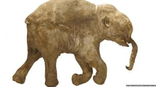 This is the real Lyuba. A detailed replica of Lyuba will be on show in Mammoths of the Ice Age. Lyuba's trunk collapsed when she died. Scientists theorise that the baby mammoth was trapped in silt and eventually suffocated. From Lyuba we can learn much about how mammoths behaved, from what they looked like to what they ate