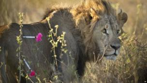 A lion with two pink tranquiliser darts stuck to his thigh, Nairobi National Park, Kenya - Saturday 25 January 2014