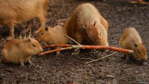 The triplets gnaw wood with an adult Capybara