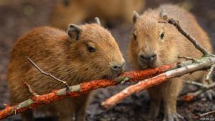 Capybara babies gnawing on wood.