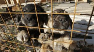 Dogs look on through a fence at a private dog shelter in Baranovka near Sochi