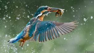 Kingfisher catches a fish