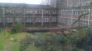 Uprooted tree in school quad
