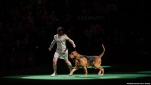 Nathan, a Bloodhound, competes in the Best in Show category at the Westminster Dog Show in New York