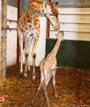 baby giraffe and adult giraffe