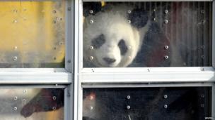 Panda in a clear box