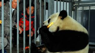 panda in a cage