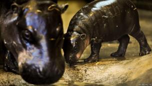 Pygmy hippopotami at Bristol Zoo Gardens