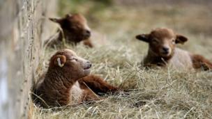 Newborn Portland lambs soak up the sunshine at a farm in Cambridgeshire, England