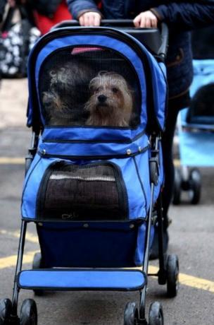 Dogs in a pram