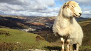 Kelly Colley took this photo of what she calls the smiling sheep on top of the Bwlch Mountain in south Wales