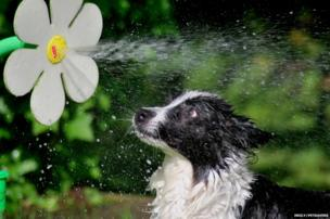 A dog being sprayed by a garden toy in the shape of a flower