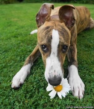 A dog lying on the lawn with a flower in its mouth