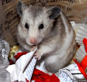 A grey hamster sat among waste paper