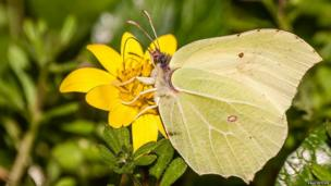 Brimstone butterfly feeding