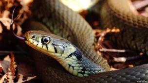 Grass snake basking