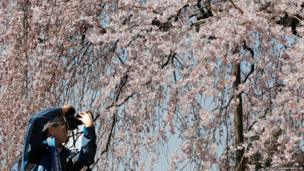 A visitor takes a picture of cherry blossom