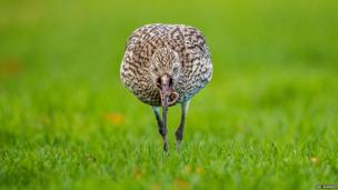 Curlew Eating a Worm