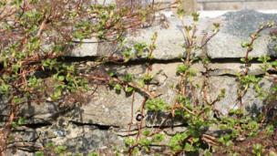 Bird nest in a garden wall