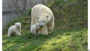 Polar bears in a zoo in Munich, Germany