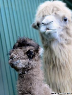 Two camels at Budapest Zoo