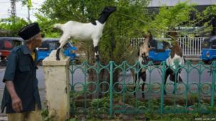 Goats feed on a tree in Manggarai park in the Indonesian capital city of Jakarta