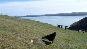 Chicken on Ramsey Island with view of the water