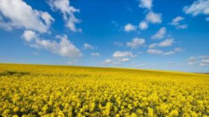 A field of rapeseed near Aberffraw on Anglesey