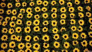 A patch of sunflowers is displayed on a stand at the 2014 Chelsea Flower Show at Royal Hospital Chelsea
