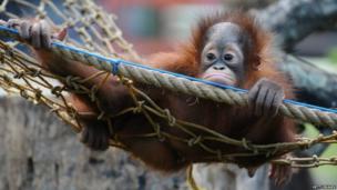 Bornean orang utan hangs in a net at Surabaya Zoo in Indonesia (19 May 2014)