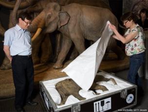 Lyuba, the world's most complete mammoth