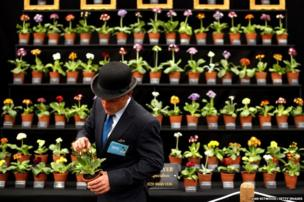 An exhibitor checks Auricula plants on display in the Great Pavilion at the 2014 Chelsea Flower Show at Royal Hospital Chelsea in Londo