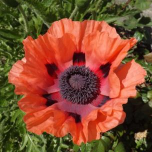 A poppy opened after all the rain in the garden of David Jones, from Llangristiolus, Anglesey