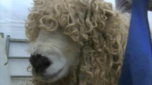 Sheep at the 2014 Royal Cornwall Show