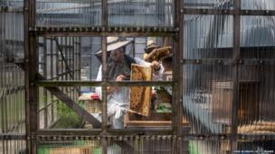 Beekeeper Yamamoto Maoko removes bees from a frame at the rooftop bee hives of the Ginza Honey Bee Project in Tokyo, Japan